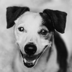 Freddie02Sep201846-Edit.jpg (fredstrobel) Tags: dogs blackandwhite places atlanta usa pets animals ga pawsatanta phototype pawsdogs decatur georgia unitedstates us