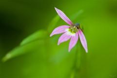 ミゾカクシ Chinese lobelia (takapata) Tags: sony sel90m28g ilce7m2 macro nature flower