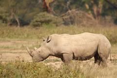 Right to left (Nagarjun) Tags: lakenakurunationalpark kenya eastafrica wildlife bigfive whiterhino whiterhinoceros southernwhiterhinoceros ceratotheriumsimumsimum safari gamedrive herbivore biggame