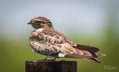 Common Nighthawk (Chordeiles minor) (Don Dunning) Tags: anahuacnwr animals birds canon7dmarkii canonef100400mmf4556lisiiusm chambers nationalwildliferefuge nightjar northamerica texas unitedstates anahuac