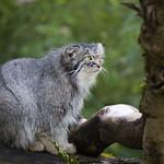 Pallas cat thumbnail