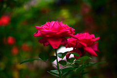 Flowers 1 (TheseusPhoto) Tags: color colorsoftheworld nature naturephotography flowers beautyinnature beautiful bloom garden