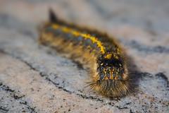On the Road Again (SkyeWeasel) Tags: macro nature animal caterpillar drinkermothcaterpillar euthrixpotatoria insect arthropod rock