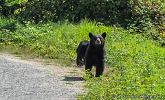 Giving me the eye (R. Sawdon Photography) Tags: blackbear bear grass path wildlife animal pocotrail cub bearcub britishcolumbiawildlife