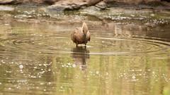 Mirror (Nagarjun) Tags: hammerkop scopusumbretta pond waterbody nairobinationalpark kenya bird birdlife wildlife safari gamedrive africa avifauna