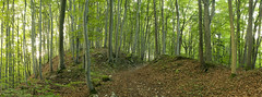 Forest morning (siebensprung) Tags: forest wald nature natur tree baum beech buche rotbuche laubbaum wandern walking path weg frankenweg green grün summer sommer laub morning morgen