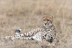 Cheetah (Waitandshoot - Alexandre & Chloé Bès) Tags: afrique africa safari bird mammifère mammal lion leopard rhino oiseaux canon sigma kenya masai hyene animal pelouse ours forêt arbre panther cat feline paysage oiseau eau