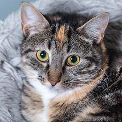Javacatscafe08Sep20180482.jpg (fredstrobel) Tags: javacafecats javacatscafe atlanta places animals ga pets cats usa georgia unitedstates us