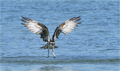 Coming Up Empty (hd.niel) Tags: osprey lakeontario diving fish nature photography wildlife birds raptors water