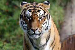Wingham Wildlife Park: Tiger (Jasmine'sCamera) Tags: wingham wildlife park winghamwildlifepark animals animal zoo tiger big cat bigcat