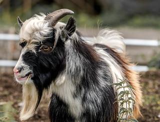 Billy Goat.