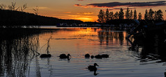 DSC_6762 (Adrian Royle) Tags: finland kuopio travel holiday lake outdoors sunset landscape water sky nikon ducks silhouette