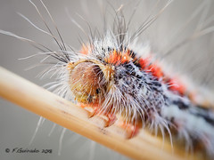 Don't touch me! (Fernando Guirado) Tags: 2018 macro caterpillar macrofotografia macrophoto macrophotography macrofoto wildlife olympus em1mk2 em1ii 60mmmacro insect insecte insecto