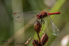 Libellule (Oric1) Tags: 22 canon côtesdarmor france jeanlucmolle oric1 armorique breizh bretagne brittany dragonfly eos hillion libellule nature sympétrum rouge sang sanguinaire