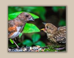 Fighting Birds (tvj21) Tags: bird birds feeding fighting fightingbirds