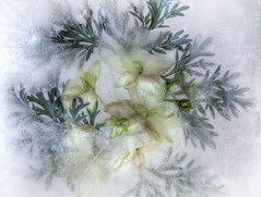 Icy (Anne Worner) Tags: anneworner olympus closeup cold flower iced icy leaves macro onice white petals