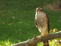 The Local Sparrohawk..x (Lisa@Lethen) Tags: sparrowhawk garden nature bird eyes feathers wildlife outdoor