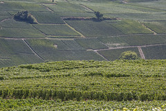 Another Study Of Vine Patterns (ClydeHouse) Tags: champagne vineyard 51 grandest reuil byandrew vignoble marne france