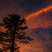 Old Conifer With the Backdrop of Sunset Clouds
