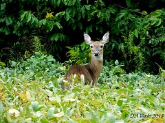 Knee Deep in Soy Beans (Picsnapper1212) Tags: whitetaileddeer deer mammal animal doe nature farm ohio farming warrencounty soybeans agriculture