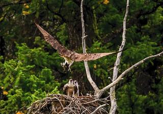 Yellowstone Osprey Nest