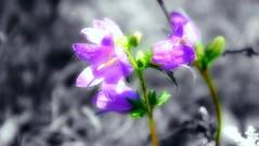 Campanelle (marco.roncoroni.co) Tags: fiori flowers blackandwhite black white biancoenero bianco e nero colore colors dettaglio violet viola macro pianta fiore