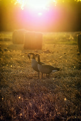 Golden Geese... (Mister Day) Tags: geese hay field autumn
