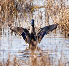 Mallard Duck (Skipjack Photography) Tags: pond floatingonwater duck riverbank rippled river waterfowl standingwater watersurface mallard lake shallow water wading