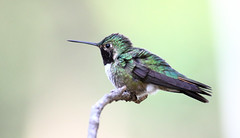 Broad-tailed Hummingbird -- Male (Selasphorous platycercus); Santa Fe National Forest, NM, Thompson Ridge [Lou Feltz] (deserttoad) Tags: wildlife nature newmexico mountain flight desert nationalforest bird wildbird hummingbird