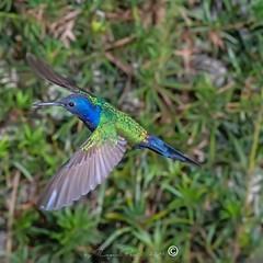 1 (Roger Hummingbirds) Tags: animal nature bird birds colibri wildlife hummingbird wings flight feeder flower nectar south america rain forest color colorful colour fly flying spread blue green delicate flora floral beauty inflight ornithology wild brazil beijaflor tesourinha kolibrie feathers outdoor verde azul natureza do sul vôo voando delicado flores
