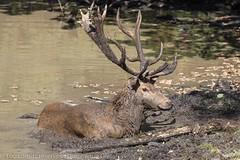 Bain de boue - Mud bath (dom67150) Tags: animal cerf cerfélaphe reddeer baindeboue mudbath parcanimaleirdesaintecroix lorraine rhodes