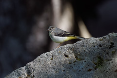 a Wagtail on a waterfall (Franck Zumella) Tags: waterfall wagtail yellow bergeronnette jaune riviere chute eau water bird oiseau nature animal wildlife blanc gris grey white lake lac