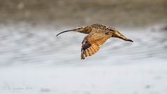 Long-billed Curlew (Bob Gunderson) Tags: birds california crissyfield longbilledcurlew northerncalifornia numeniusamericanus presidio sanfrancisco sandpipers shorebirds