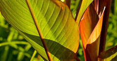 LIGHT SHINES  TROUGH (chris .p) Tags: hidcote gloucestershire england nikon d610 capture plant view garden summer 2018 uk cotswold cotswolds light august nt nationaltrust