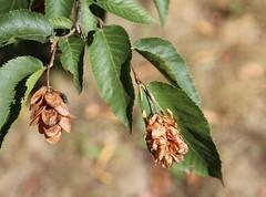 Ironwood seeds (stephenmid) Tags: kew royalbotanicgardenskew