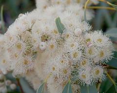Eucalyptus opaca, south of Newman, WA, 09/04/18 (Russell Cumming) Tags: plant eucalyptus eucalyptusopaca myrtaceae newman westernaustralia