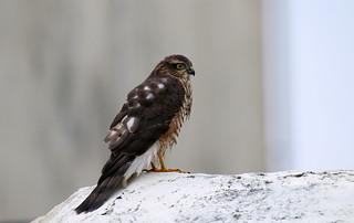 Sparrowhawk (1V4A6823)