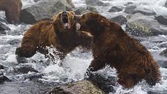Titans struggle (paolo_barbarini) Tags: kamchatka wildlife orsi bears animali animals fight lotta mammals acqua water national geographicnationalgeographic animalplanet