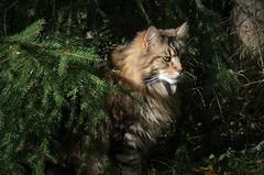 """"""" in the forest, the mighty forest...... """" (KvikneFoto) Tags: katt elvis cat tamron mf nikon"""