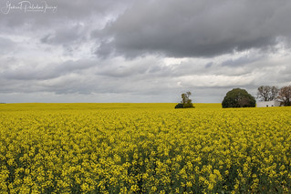 Yellow countryside