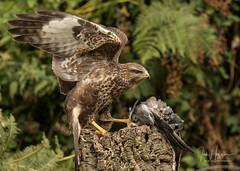 Common Buzzard (Ian howells wildlife photography) Tags: ianhowells ianhowellswildlifephotography birdofprey buzzard nature naturephotography nationalgeographic wildlife wildlifephotography wales wild wildbird wildbirds canonuk canon 1dxmkii