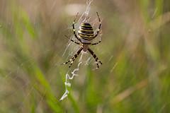 wasp spider (BWhite photo) Tags: hertfordshire herts canon macro 100mm canon5dmkiii wasp spider