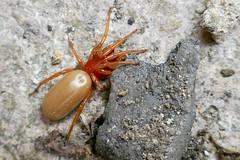 (z-1070542) Woodlice beware! (Clixworker) Tags: woodlousespider dysderacrocata red orange spider garden norfolk uk