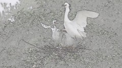 Egret Chicks Feeding - Rendered (pandatub) Tags: bird birds egret snowyegret lakeshorepark