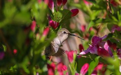Hummingbird About To Indulge in Some Sweet Flower Nectar. (RStonejr) Tags: wildlife hummer wings wildanimal wild animalplanet animal 80d canon80d canon leaves leaf colors 55250mmlens 55250mm rural unofficial flickr macromonday macro california new pink home spring2018 2018 spring floraandfauna fauna flora light bush green outside nectar flower flowers grey red ross rossstone rs2pics fast flight flying pretty beautiful naturephotography nature natur bird hummingbird