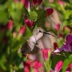 Hummingbird About To Indulge in Some Sweet Flower Nectar. thumbnail