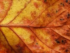 Season First (Robert Cowlishaw (Mertonian)) Tags: macro beauty beautiful fall orange canonpowershotg1xmarkiii markiii g1x powershot canon backyardphotolab bypl veins robertcowlishaw mertonian fallcomes