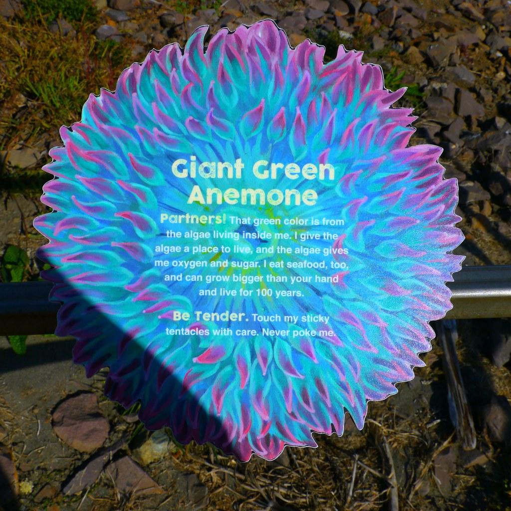 Giant Green Anemone interpretive sign in Harris Beach State Park