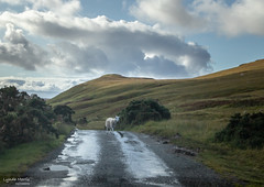 This is my road (lyndakmorris) Tags: rain wet cloudy path road sheep lyndamorrislrps scotland