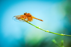 Dragonfly... (Syahrel Azha Hashim) Tags: simple naturallight wings colorful details nopeople travel nature tranquil animal colors colorimage insect dragonfly beauty light